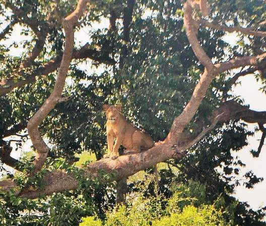 One of the tree climbing lions in Queen Elizabeth National Park