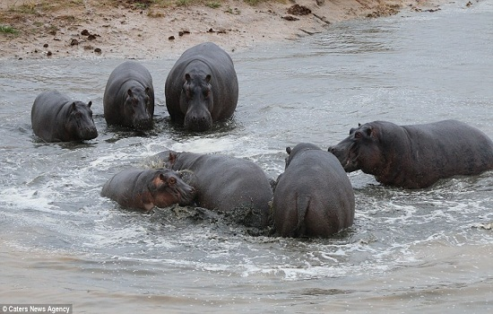 Disaster; The final moments before the calf is seized upon by the hippos and is killed in a brutal act of infanticide