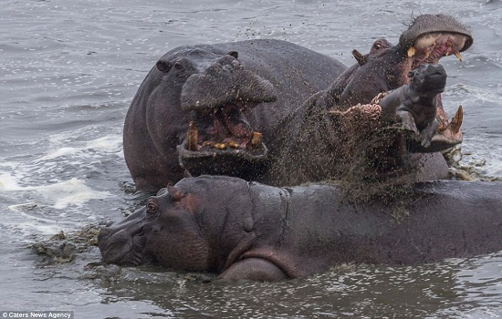 Tossed in the air like a small ragdoll, the adults show no mercy as they kill the small hippo calf in the murky waters