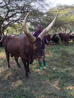 Frank Tumwebaze checking out his cows